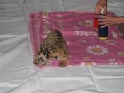 tiger1-medium.jpg